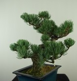Bonsai Pin blanc du Japon, Pinus pentaphylla, no. 7812