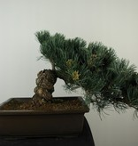 Bonsai Pin blanc du Japon, Pinus pentaphylla, no. 7814