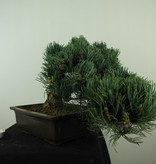 Bonsai Japanese White Pine, Pinus pentaphylla, no. 7814