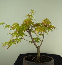 Bonsai L'Erable du Japon,  Acer Palmatum Orange Dream, no. 7382