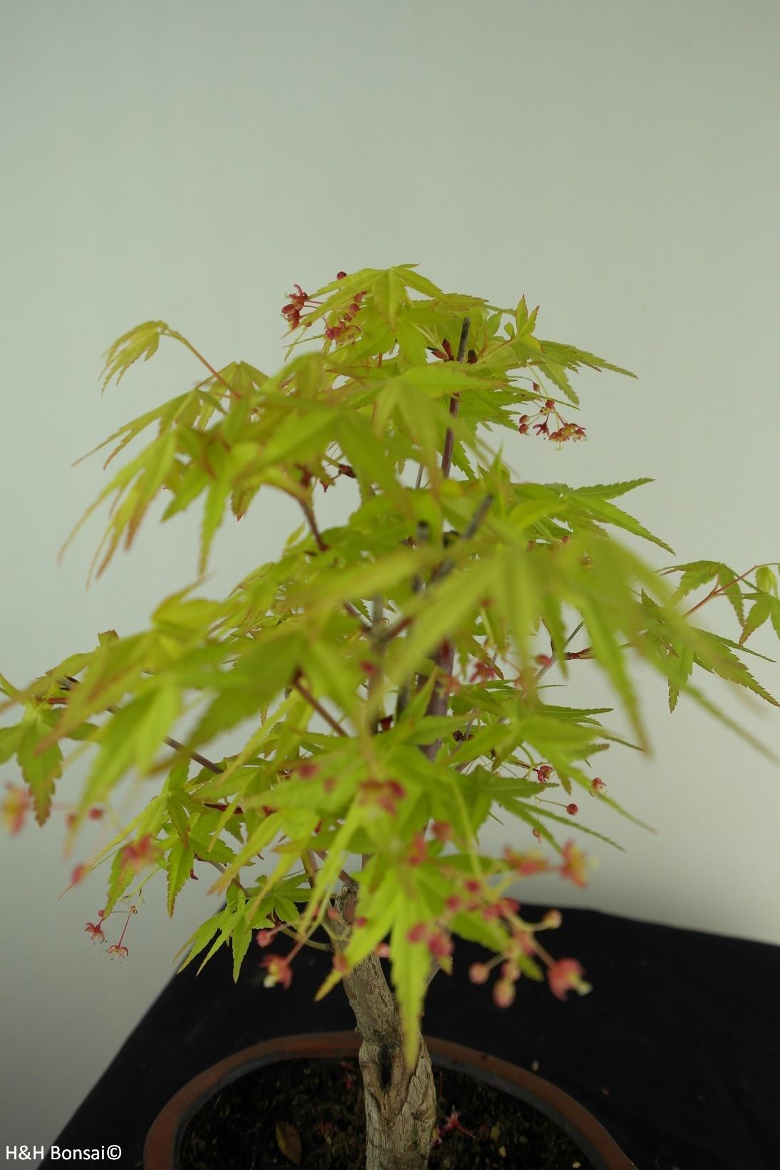 Bonsai Japanese Maple Orange Dream No 7384 Wwwhenhbonsaifr