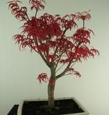 Bonsai Japanese Red Maple, Acer palmatum deshojo, no. 7458