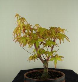 Bonsai L'Erable du Japon,  Acer Palmatum Orange Dream, no. 7460