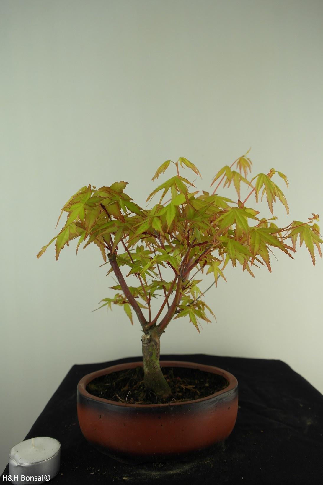 Bonsai Japanese maple Orange Dream, no. 7460