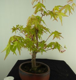 Bonsai L'Erable du Japon,  Acer Palmatum Orange Dream, no. 7461