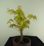 Bonsai L'Erable du Japon,  Acer Palmatum Orange Dream, no. 7461