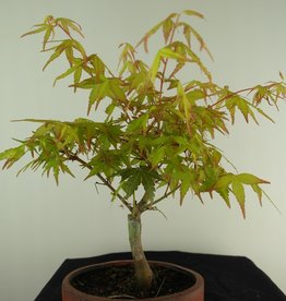 Bonsai L'Erable du Japon,  Acer Palmatum Orange Dream, no. 7462