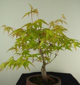 Bonsai L'Erable du Japon,  Acer Palmatum Orange Dream, no. 7463