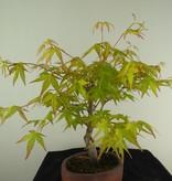Bonsai Japanese maple Orange Dream, no. 7463