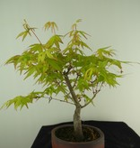 Bonsai L'Erable du Japon,  Acer Palmatum Orange Dream, no. 7463