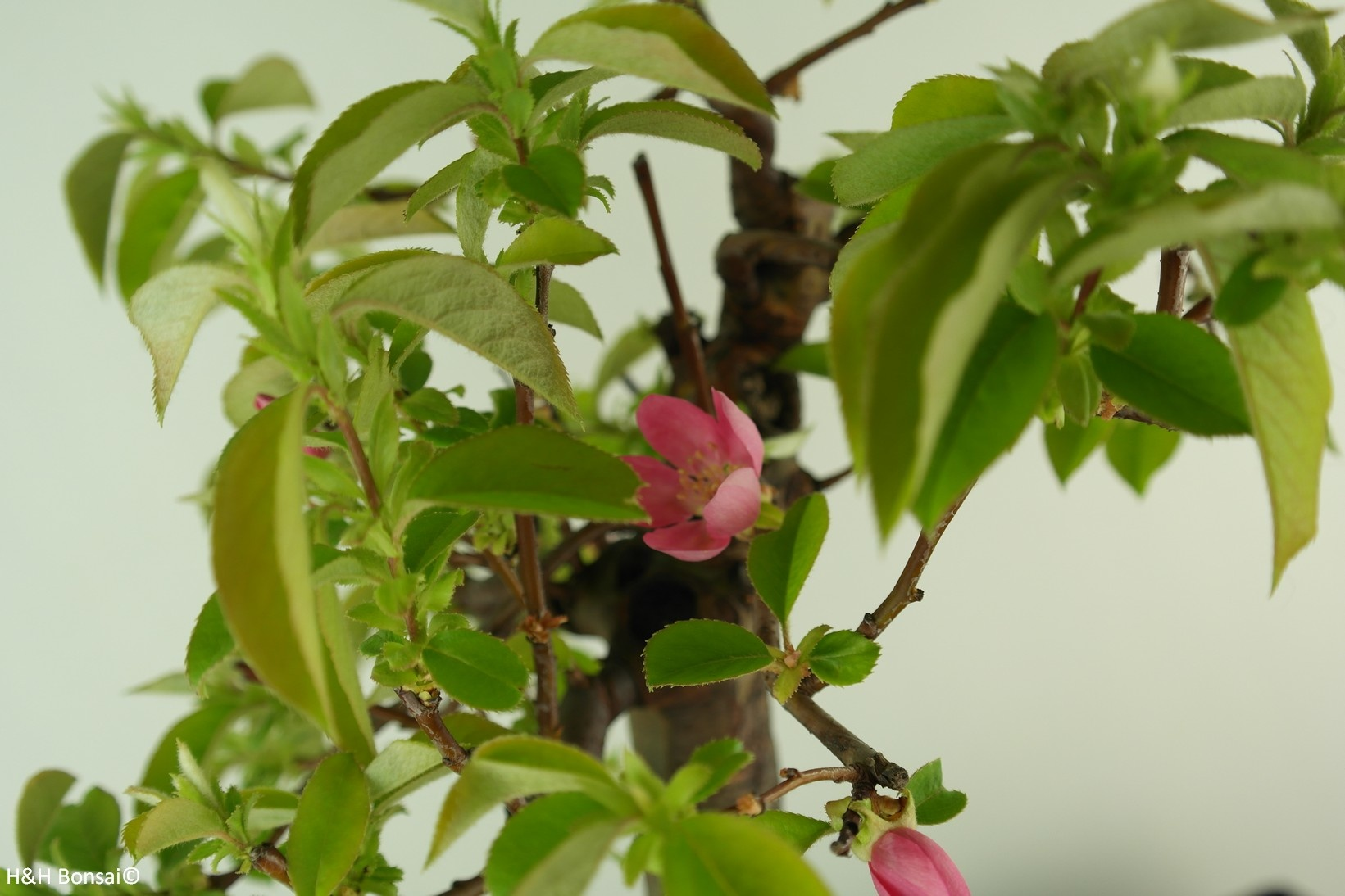 Bonsai Chinese Quince, Pseudocydonia sinensis, no. 7649