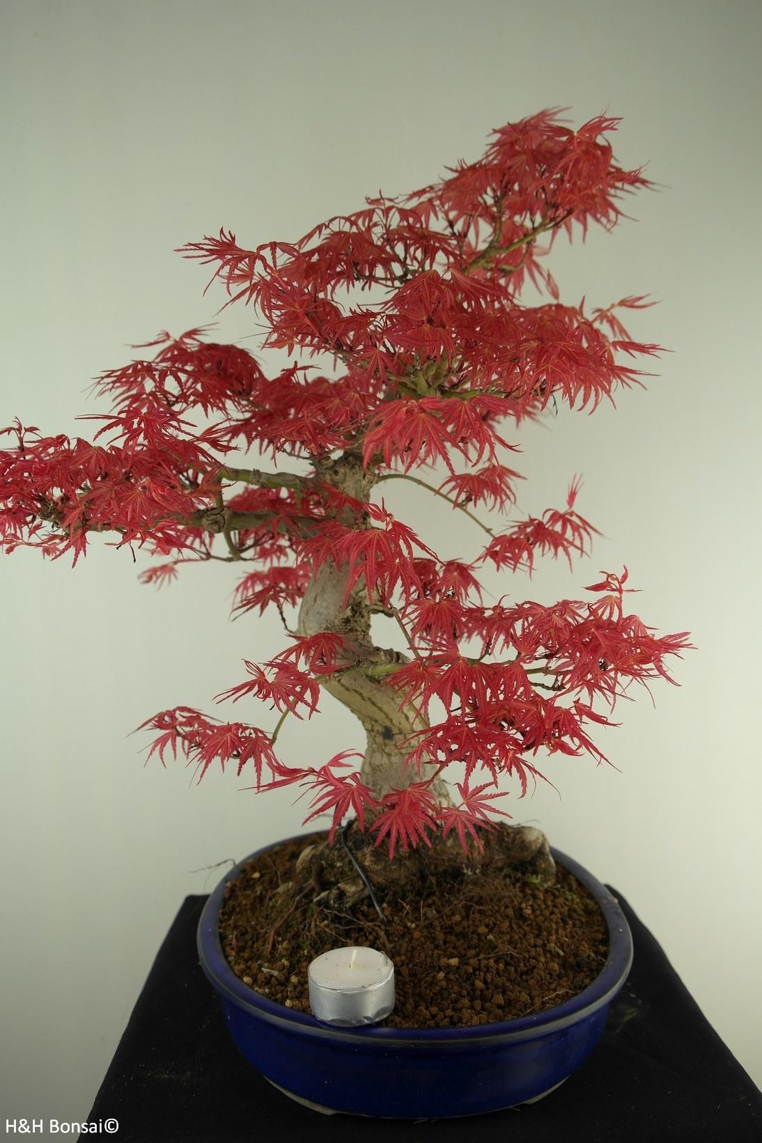 Bonsai Japanese Maple, Acer palmatum, no. 7765