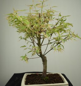 Bonsai L'Erable du Japon, Acer Palmatum Batafurai, no. 7374