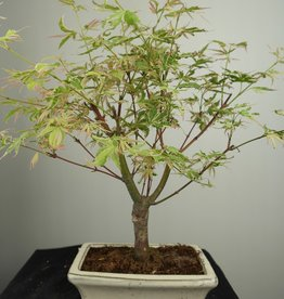 Bonsai L'Erable du Japon, Acer Palmatum Batafurai, no. 7377
