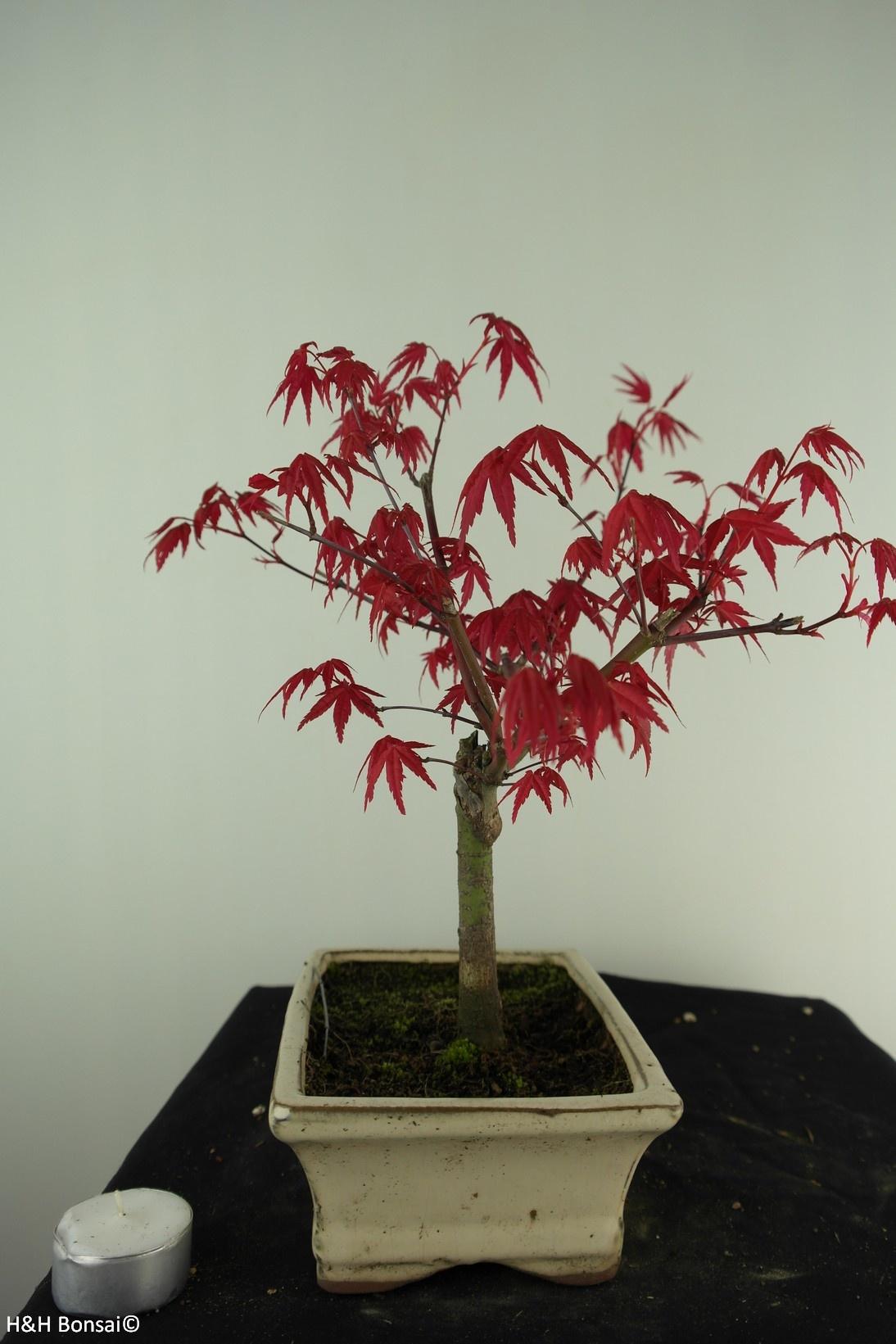Bonsai Japanese Red Maple, Acer palmatum deshojo, no. 7465