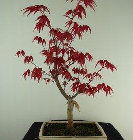 Bonsai Japanese Red Maple, Acer palmatum deshojo, no. 7466