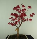 Bonsai L'Erable du Japon deshojo, Acer palmatum deshojo, no. 7466