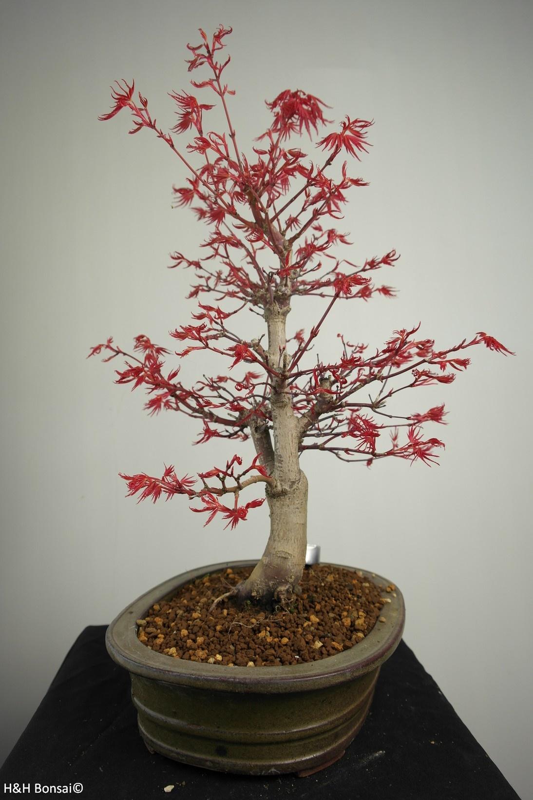Bonsai Japanese Red Maple, Acer Palmatum deshojo, no. 7506