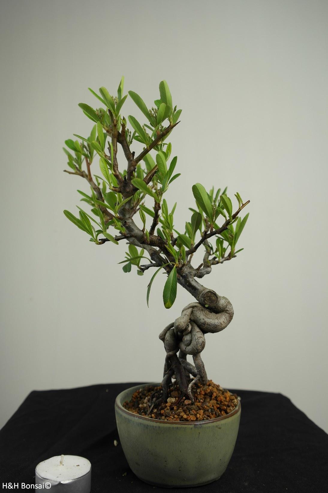 Bonsai Buisson ardent, Pyracantha, no. 7526