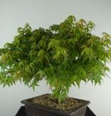Bonsai Erable du Japon Kiyohime, Acer palmatum Kiyohime, no. 7534