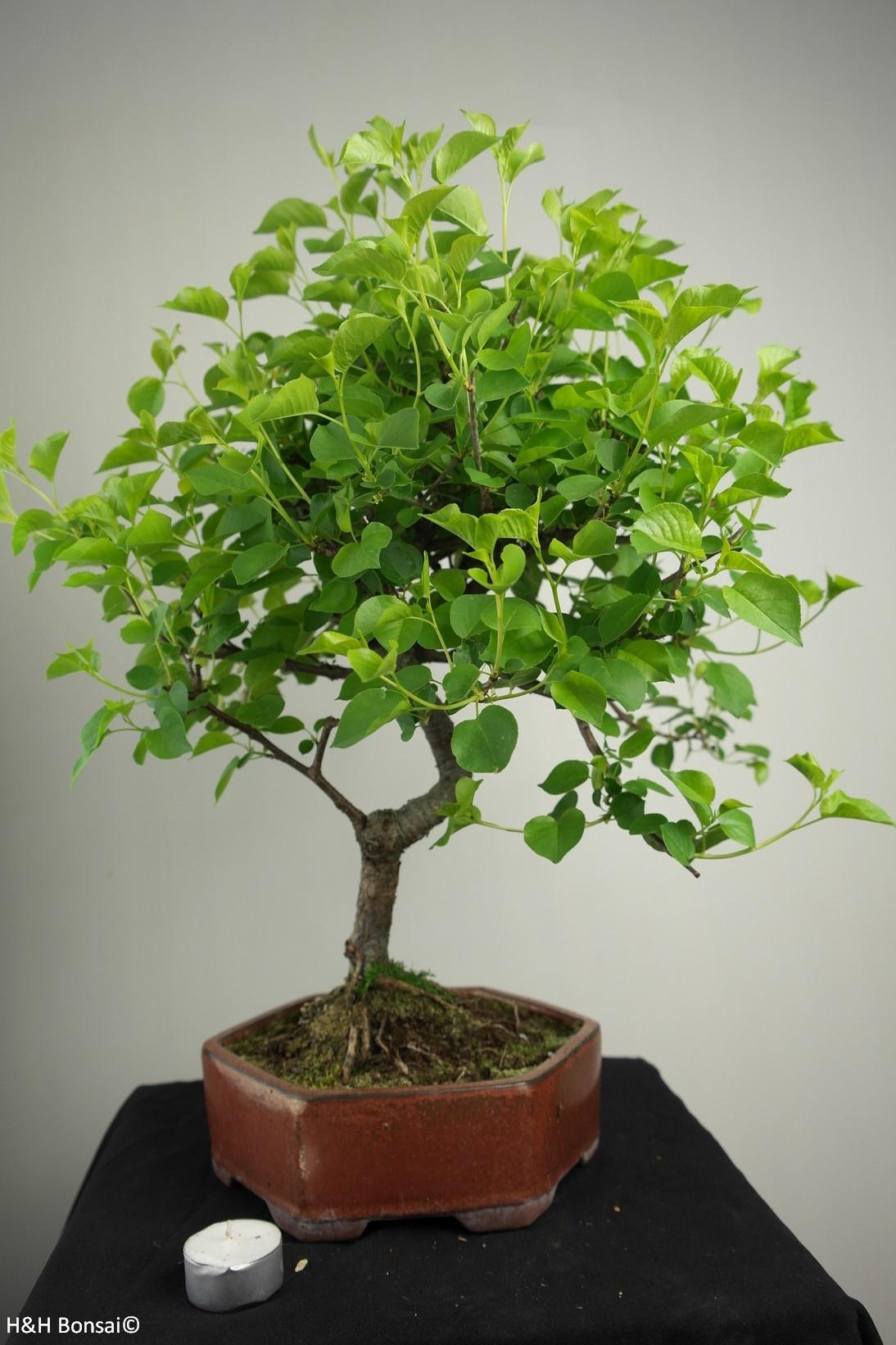 Bonsai Faux merisier, Prunus mahaleb, no. 7668