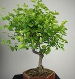Bonsai Prunus mahaleb, Mahaleb cherry, no. 7668