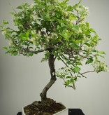 Bonsai Prunus mahaleb, Mahaleb cherry, no. 7669