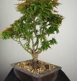 Bonsai Japanese Maple Kotohime, Acer palmatum Kotohime, no. 7694