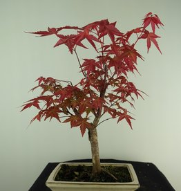 Bonsai Erable du Japon deshojo, Acer palmatum deshojo, no. 7723