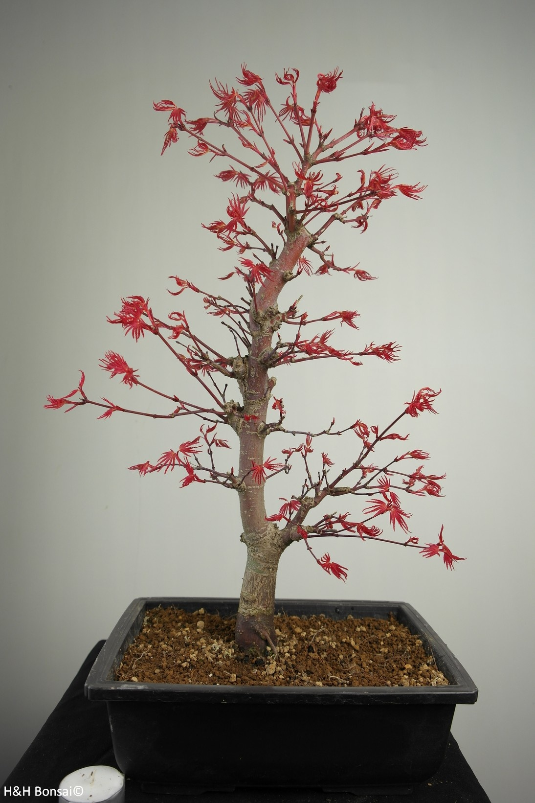 Bonsai Erable du Japon deshojo, Acer palmatum deshojo, no. 7753