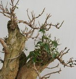 BonsaiBougainvillea glabra, no. 7817