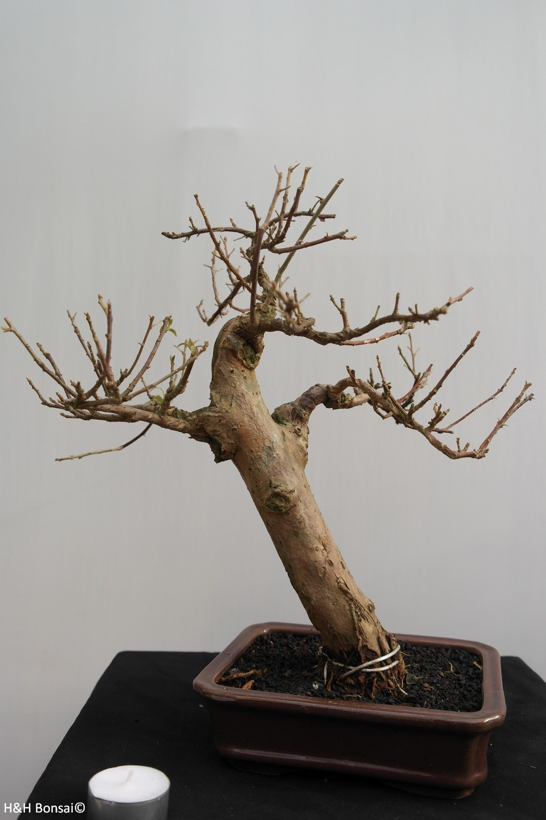 Bonsai Bougainvillea glabra, no. 7818