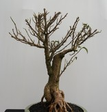 Bonsai Bougainvillier, Bougainvillea glabra, no. 7819