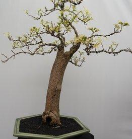 BonsaiBougainvillea glabra, variegata, no. 7824