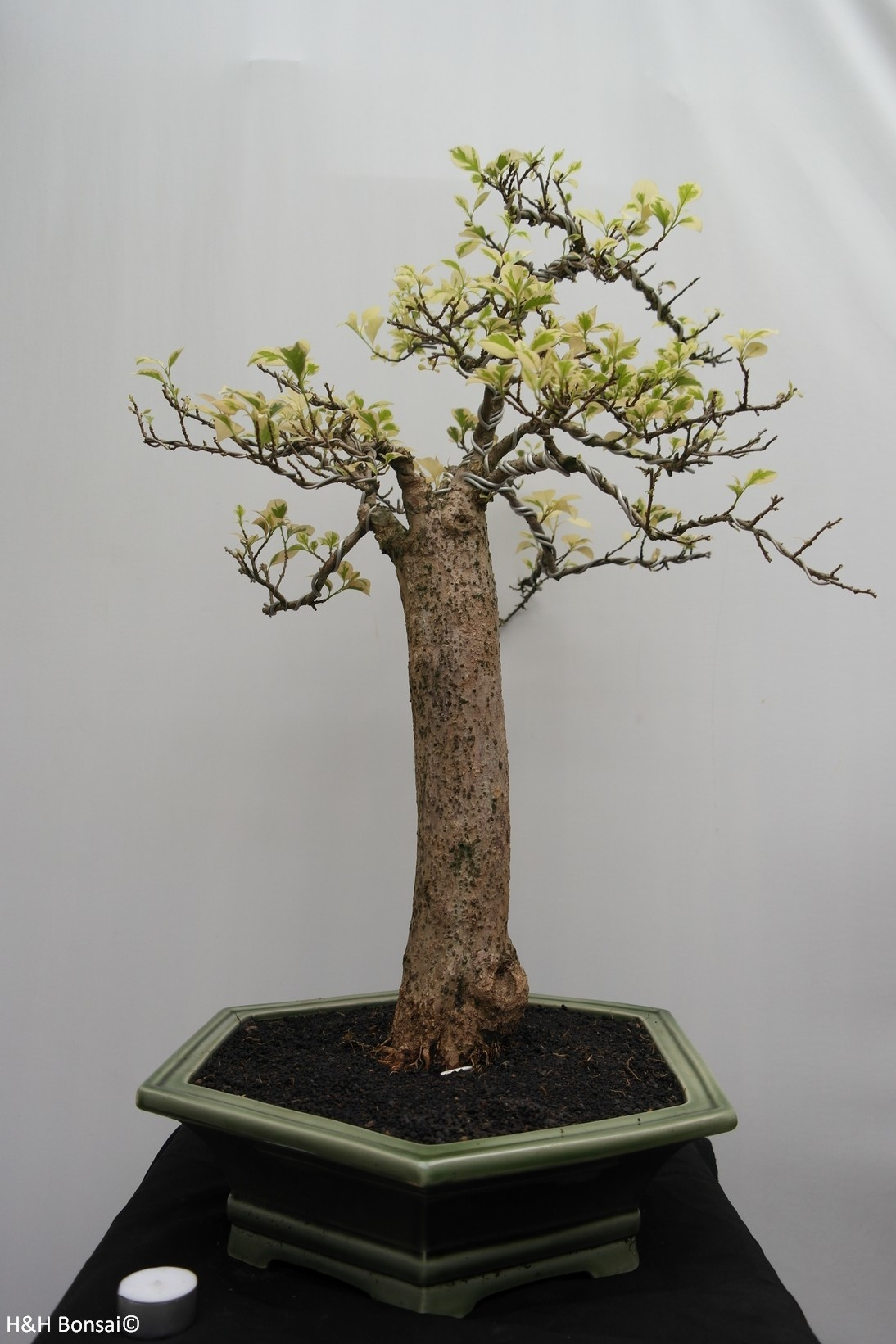 Bonsai Bougainvillea glabra, variegata, no. 7824