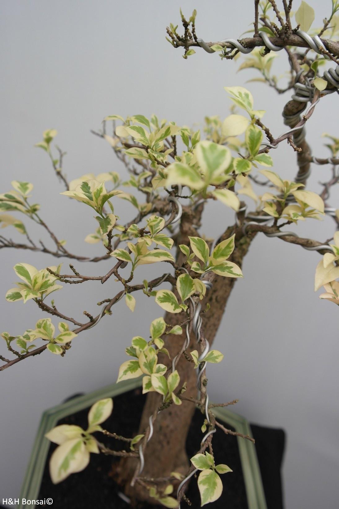 Bonsai Bougainvillier panache, Bougainvillea glabra, variegata, no. 7824