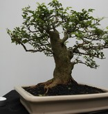Bonsai Sophora, Kalimantan, no. 7825