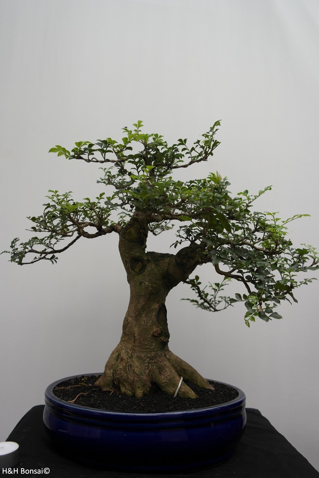 Bonsai Sophora, Kalimantan, no. 7826