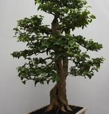 Bonsai Troène, Ligustrum sinense, no. 7827