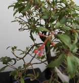 Bonsai Hamelia, no. 7834