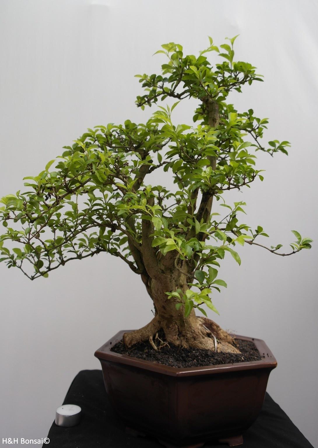 Bonsai Duranta, no. 7835