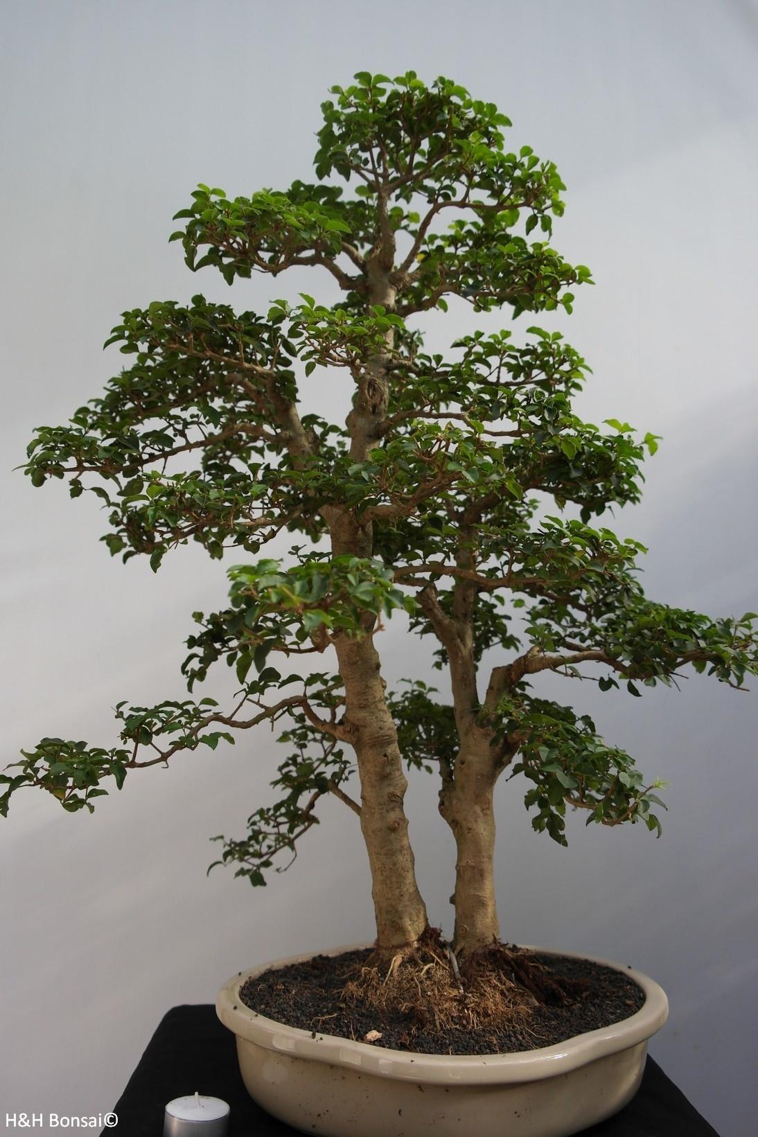Bonsai Troène, Ligustrumsinense, no. 7841