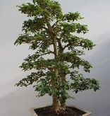 Bonsai Troène, Ligustrum sinense, no. 7842