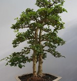 Bonsai Privet, Ligustrum sinense, no. 7842