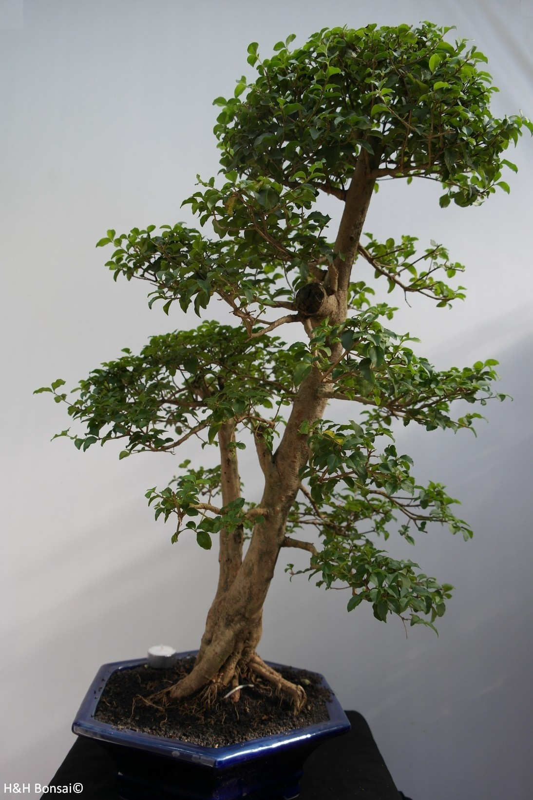 Bonsai Troène, Ligustrum sinense, no. 7846