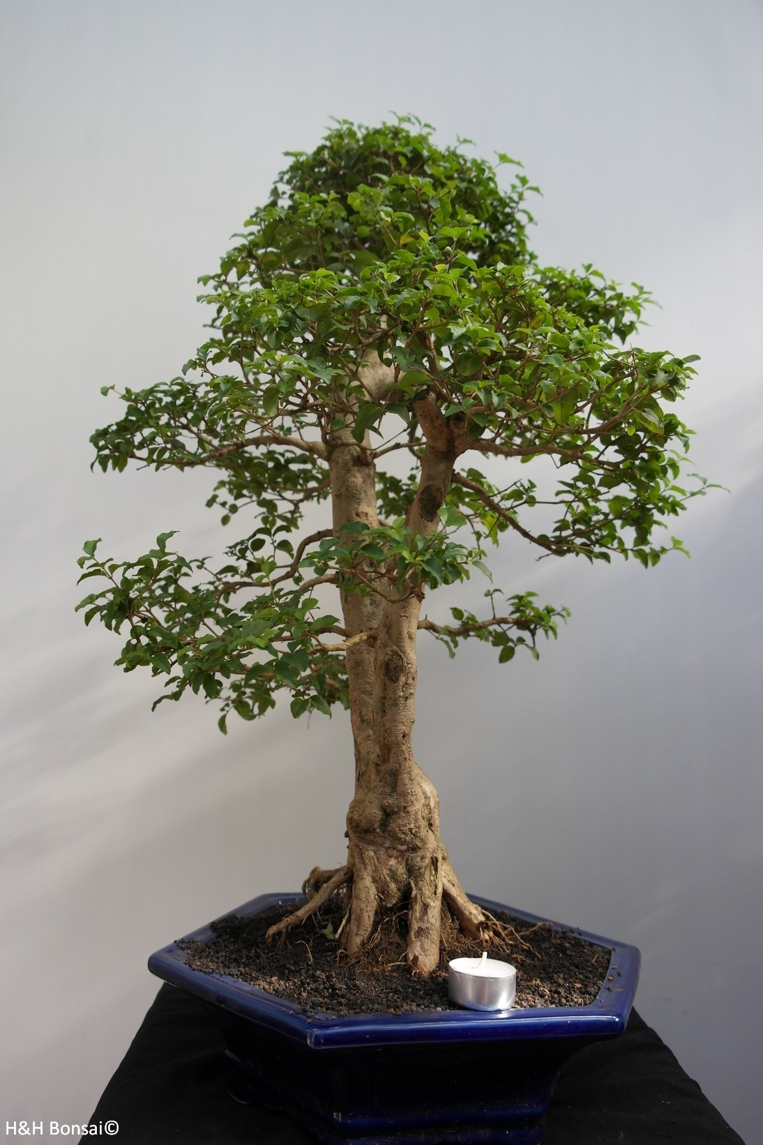 Bonsai Privet, Ligustrum sinense, no. 7846