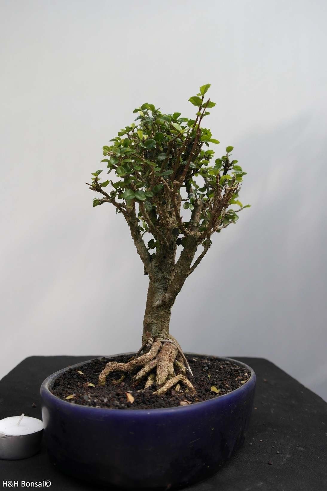 Bonsai Barbados Cherry, Malpighia coccigera, no. 7851