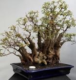 Bonsai Hamelia, no. 7853