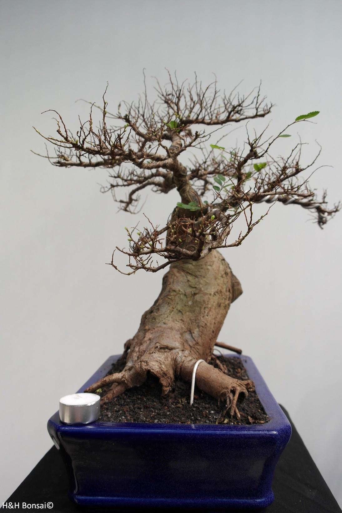 Bonsai Orme de chine, Zelkova, no. 7856