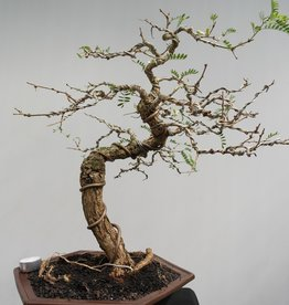 Bonsai Tamarinde, no. 7858
